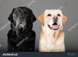 2 female boxer dogs together two labrador dogs together blonde black stock photo 100724698