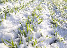 how much winter rapeseed ukraine will lose due to early cooling