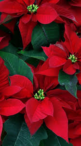 poinsettia flowers herbs leaves red close up flowering