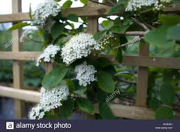 clusters of pretty white flowers on young viburnum which is being