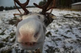 visiting a reindeer farm in finland world of wanderlust