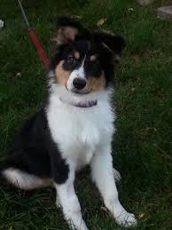 australian shepherd 5 months weight 17 migliori idee su beagle adottabili su pinterest pocket beagle