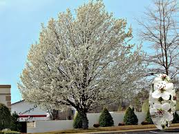 the many downsides of planting bradford pear trees pruning tips