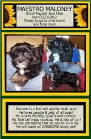 affenpinscher a donner havanese havanese puppies for sale mini havanese for sale