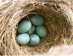 71 best robin eggs images on pinterest robins egg eggs and