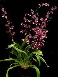 oncidium orchid oncidium care