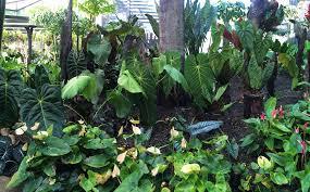 Cairns Botanical Garden by Anthuriums At Flecker Botanic Gardens By Ken Hossen Tropical