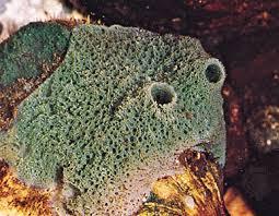 Strawberry Vase Sponge Sponge Classification Animal Britannica Com