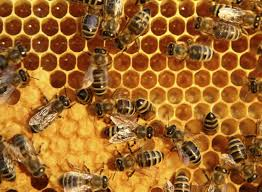 what do killer bees look like