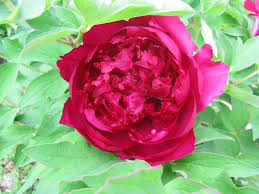 Peonies Flower Peonies Forum How Long Do Your Tree Peonies Flowers Last