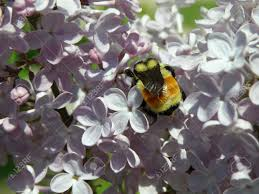 a large colorful bumble bee searches the flowers of a lilac bush