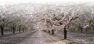 yield in almond is related more to the abundance of flowers than
