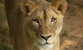 lion smithsonian u0027s national zoo