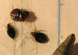 can you see bed bugs with a black light bed bugs in france what s that bug