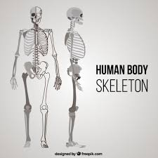 Human Anatomy Images Free Download Skeleton Vectors Photos And Psd Files Free Download
