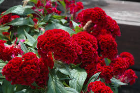 Fox In The Barn Twisted Celosia Celosia U0027twisted U0027 In Cary Crystal Lake Algonquin
