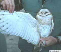 North American Barn Owl Barn Owl Multimedia Birds Of North America Online