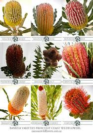 australian native plants for sale nine of our most popular banksia varieties that we grow and
