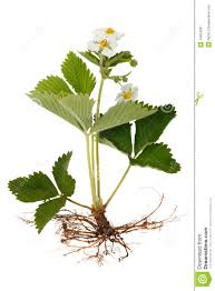 strawberry plants with flowers stock image image 14354291