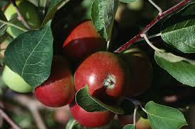 Planting Fruit Trees In Backyard Apples How To Plant Grow And Harvest Apple Trees The Old
