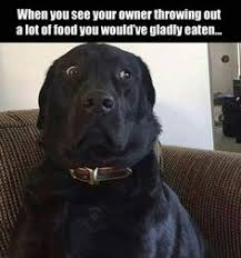Black Lab Meme - labs xxx this would be moose and snicker too labs