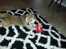 The Foxy Shiba Inu U0027s U2013 Pet Sitting For The Win Dog U0027s Life For Me