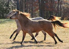mustang horse wild horse over population is causing environmental damage green