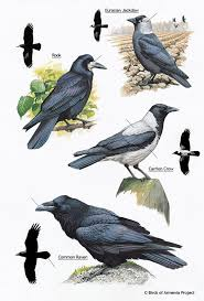 141 best crows rooks ravens jackdaws magpies images on