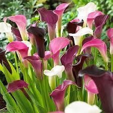 calla bulbs calla bulbs for sale buy flower bulbs in bulk save