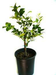 bearss seedless lime tree 5 gal citrus trees