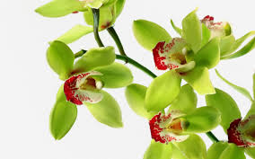 orchid flowers attractive green orchid flowers wallpaper beautiful desktop