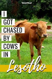 i got chased by three cows in lesotho wanderlust movement