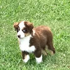 australian shepherd puppies near me australian shepherd puppies and dogs for sale in usa