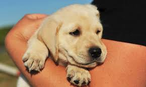 puppy supplies 10 essentials for your new labrador puppy the