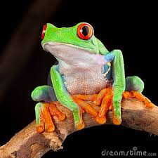 Decorative Frogs Red Eyed Tree Frog Decorative Wallpaper Pinterest Tree Frogs