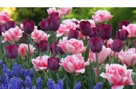 wholesale indoor u0026 outdoor flower bulbs direct for sale