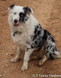 australian shepherd rescue nc alt texas heelers texas heeler purebred and hybrid puppies