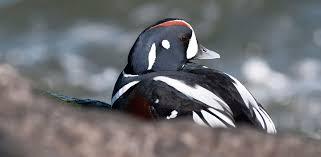 Nj Backyard Birds by Harlequin Duck Audubon Field Guide