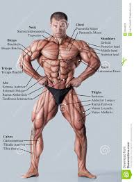 Human Anatomy Male Http Thumbs Dreamstime Com Z Anatomy Male Muscular System