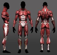 Human Anatomy Reference 81 Best Front Side Reference Images On Pinterest Character