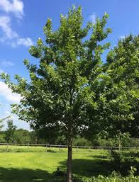 native north texas plants trees that are making you sneeze in texas blog preservation