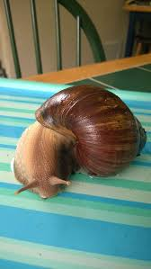 how to care for giant african land snails 15 steps