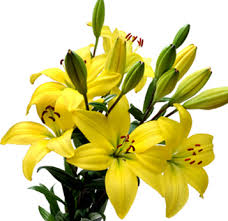 yellow lilies mcc wholesale floral l flower gallery l tn black
