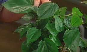 video indoor pet safe plants martha stewart