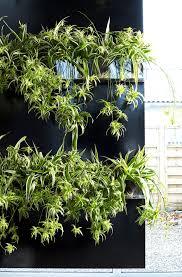 Low Light Flowering Plants by Chlorophytum Spider Plant Indoor Low Light Plants