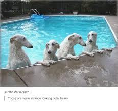 Funny Bear Memes - seethestarsablaze those are some strange looking polar bears bear