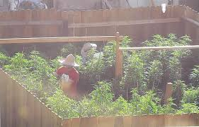 marijuana farm planted at rental unit offends neighbors martinez