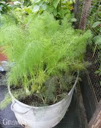 how to grow bulb fennel