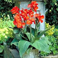canna lilies canna bulbs the president canna rhizomes
