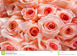 Peach Roses Lots Of Roses Background Royalty Free Stock Photo Image 34735105